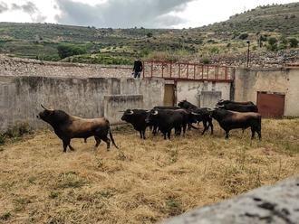 Los de Domingo Hernández ya descansan en los corrales de Brihuega para el cartelazo de mañana