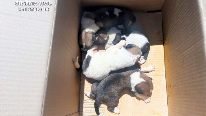 Dos investigados por abandonar una caja con 10 cachorros en Viso del Marqués