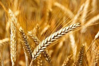La cosecha de cereal da sus últimos coletazos en Guadalajara, que cierra año con más producción pero de menor calidad
