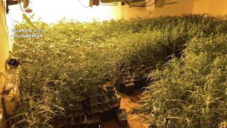 La Guardia Civil desmantela una plantación de 1.574 plantas de marihuana en Jadraque