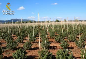 La Guardia Civil interviene 12.000 plantas de marihuana en una finca dedicada a un falso cultivo de cáñamo industrial en Sonseca