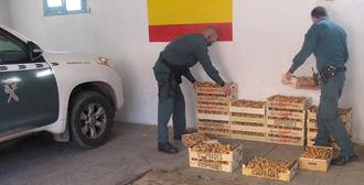 La Guardia Civil incauta 150 kilos de níscalos cogidos ilegalmente en Atienza