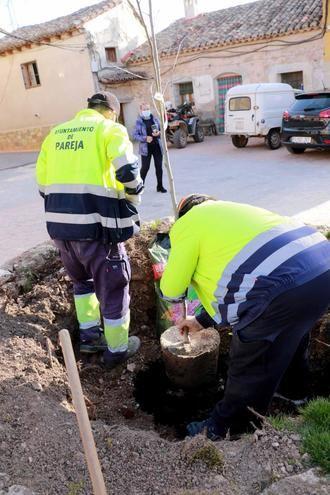 El Ayuntamiento de Pareja planta un nuevo olmo, resistente a la grafiosis, en Cereceda