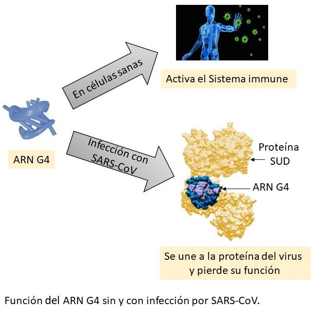 La interacción de una proteína del SARS-CoV-2 con ARN abre una posible vía de tratamiento frente al coronavirus