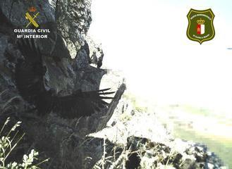 La Guardia Civil de Ciudad Real ha investigado a una persona al poner en peligro una cría de águila real catalogada como especie protegida