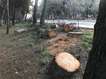Nuevo arboricidio en el futuro campus universitario de las Cristinas de Guadalajara