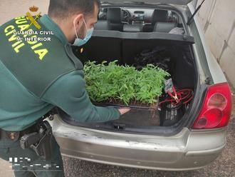 La Guardia Civil para a un vehículo en Trjueque para identificarle y descubren...¡100 esquejes de marihuana!