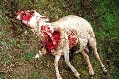 Los Ganaderos de la Sierra Norte denuncian que no les han pagado las indemnizaciones por los ataques de lobos