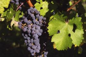 Finaliza la vendimia en Mondéjar con tres millones de kilos de uva recogidos