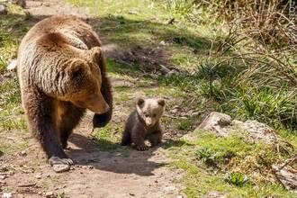 Crece el número de osos en el Parque Cinegético de El Hosquillo tras el nacimiento de una nueva cría, hija de Ginebra y Musgo
