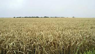 La sequía y el calor truncan las expectativas de los cereales en Guadalajara