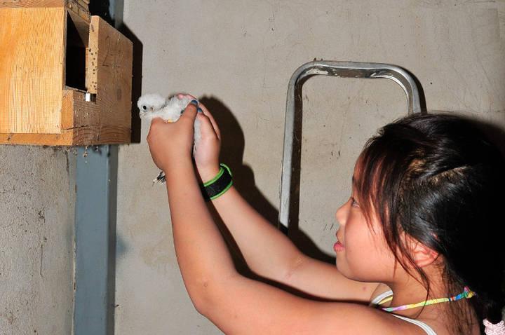 GREFA anilla a los cernícalos primilla nacidos en Quer en 2015