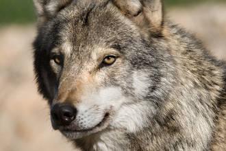 Los ecologistas quieren protección para los lobos de la Sierra Norte