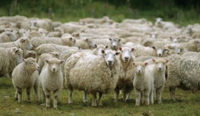 Detienen a los presuntos autores del robo de una treintena de ovejas en Fuentenovilla