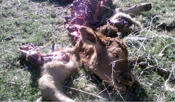 Los buitres matan a seis animales en el mismo día en la Sierra Norte