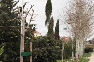 Cabanillas restituye seis árboles dañados y causantes de alergias en la calle Padre Mariana