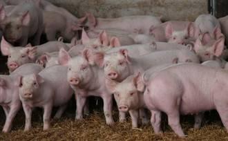 Ecologistas en Acción afirma que quieren instalar una granja para 36.000 cerdos en Brihuega