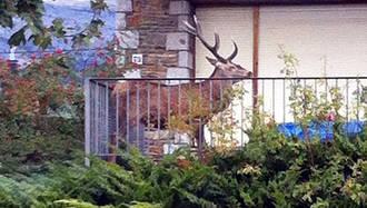 Un ciervo logra escapar de unos cazadores refugiándose en un balcón