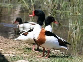 Castilla-La Mancha se mostrará como destino para los amantes de las aves en la Birdfair 2016 de Reino Unido